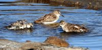 Bathing Western Sandpipers, Lagoon Trail, Del Mar, California
