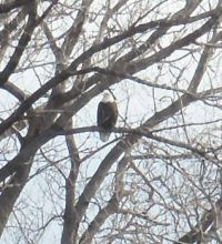 Bald eagle in Kansas