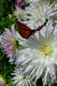 Monarch & Dahlias