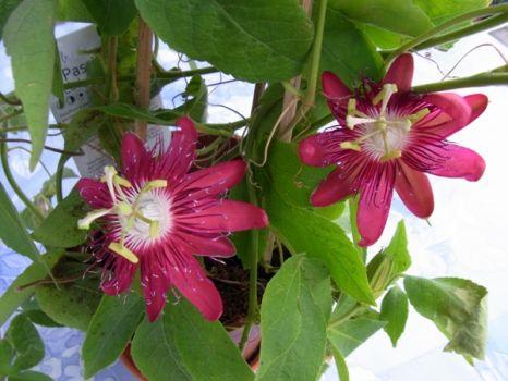 "Passiflora ""Lady Margret"""