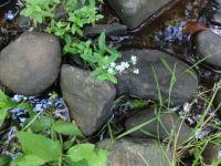 forgetmenots greenhorn creek