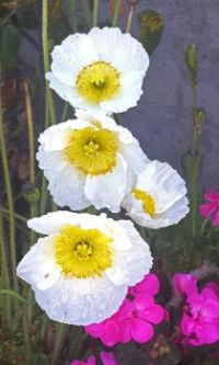 Stacked White Poppies