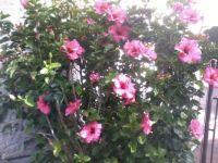 2012-04-09 15.33.49  Beautiful Hibiscus. Auckland, NZ.