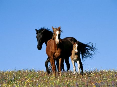 Wild horses in Montana's Pryor Mountains