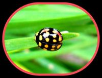 Pinknblack N Yellow Lady Bug