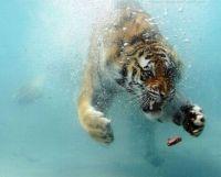 Under water tiger