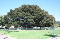 Balboa Park Magnolia Tree