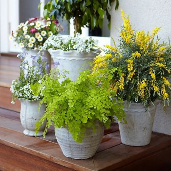 Mosquito-repelling plants for your deck