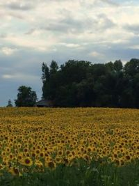 sunflowers7
