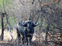 cape buffalo - male