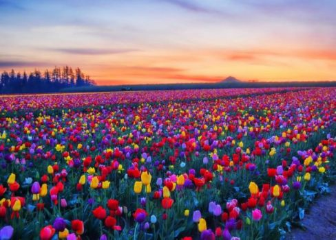 Won't you tiptoe through the tulips with me?