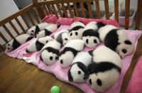 pandas in the pink