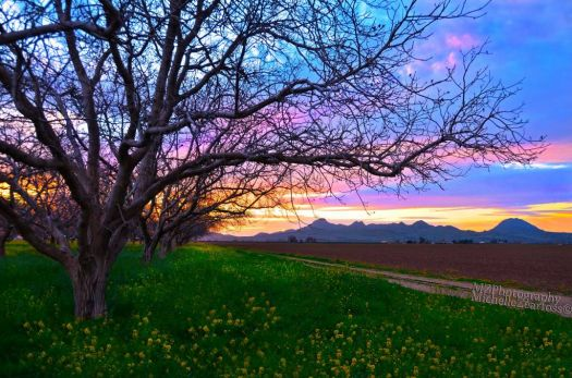 Sutter Buttes and Walnut Orchard (Sutter County, Calif.) by MZ Photography