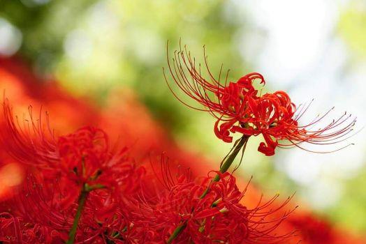 amaryllis-amaryllidaceae-spider-lily-red-flowers