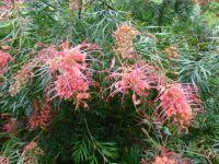Grevillea in bloom