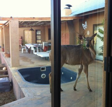 Kudu on the Patio1