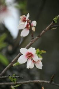 ♡༻🌸༺♡ Almond tree flower ♡༻🌸༺♡