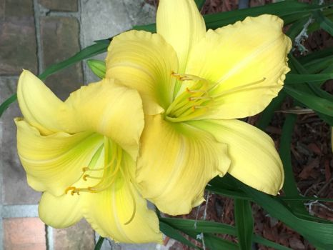 Day Lily 1 May 2019