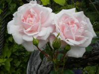 'New Dawn', modern climbing rose