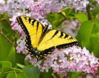 Yellow Tiger Swallowtail Butterfly on Lilac Blossoms