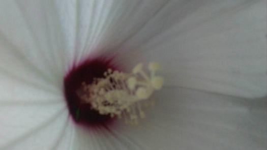 my perennial hibiscus close up