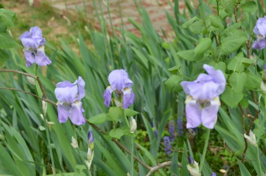 Backyard Iris with Ajuga groundcover & lilac leaves