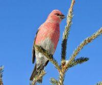Blue Sky Pine Grosbeak