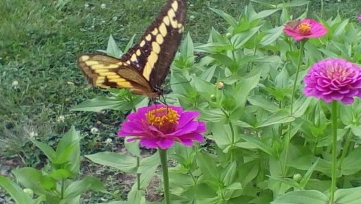 Butterfly in the zinnias
