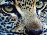 Leopards beautiful eyes