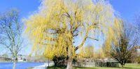 jaro - zlatá vrba