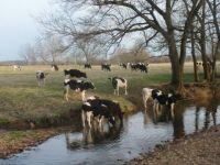 Holstein steers