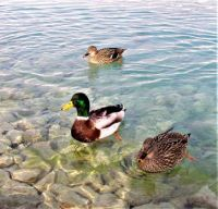 Ducks at The Foot Of The Cotton Castle