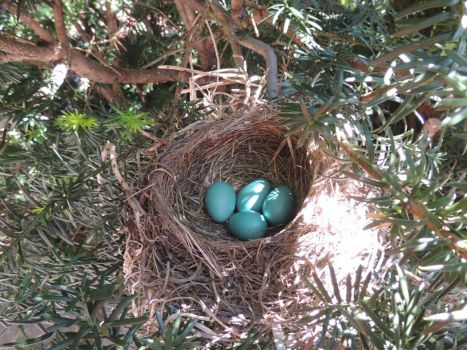 2nd batch of Robin's eggs in this nest this year