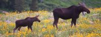 Big Moose Small Moose (Ogden Valley, Utah)