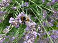 Bumble bee at work