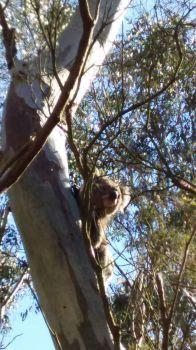 First koala on our tracks!