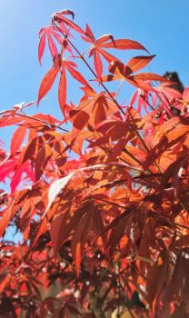 Sun-lit Japanese Maple on Sky