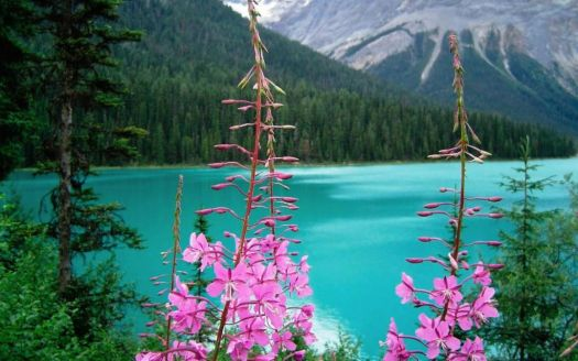 Wild Flowers of the Emerald Lake Canada