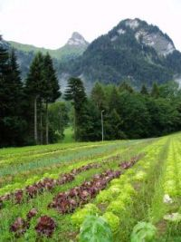 Organic Lettuce in the Field