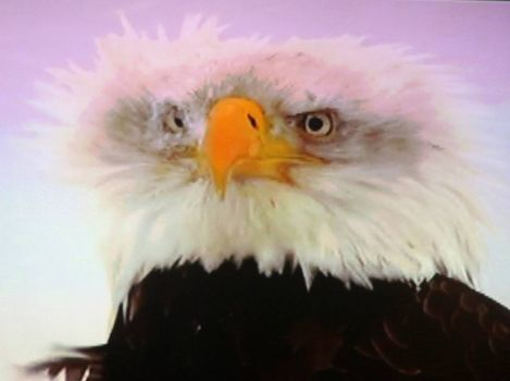 Eagle having bad hair day