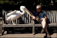 A man sits with a pelican at a London park.