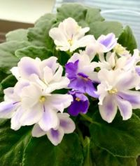 My Favourite African Violet