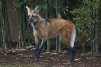 Maned Wolf  (Chrysocyon brachyurus) 2 by San Diego Zoo