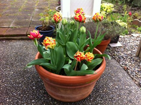 Same tulips, different angle