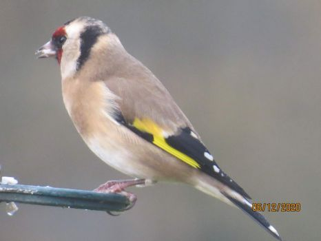 Goldfinch having a peaceful meal