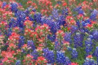 Texas bluebonnets (castilleja foliolosa) and Indian Paintbrush (Lupinus texensis)