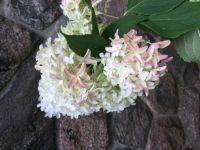 Nancy's blooms