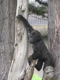 Zoo #4--baby gorilla