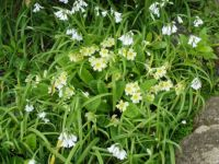 Primroses and three-cornered leek (wild garlic)