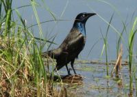 Grackle fishing